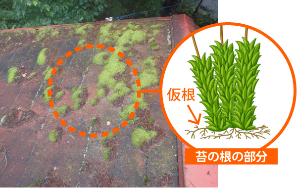 苔の根の部分